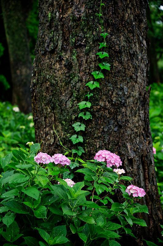 紫陽花@藤森神社_f0032011_19180156.jpg
