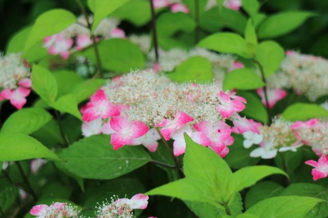 夏の花が咲いて来ました~♪_e0397815_23533652.jpg