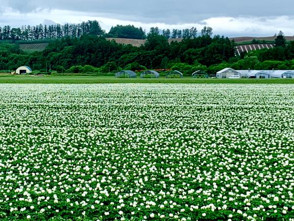 ジャガイモの花が咲き始めましたよ😄_f0096216_12374223.jpg