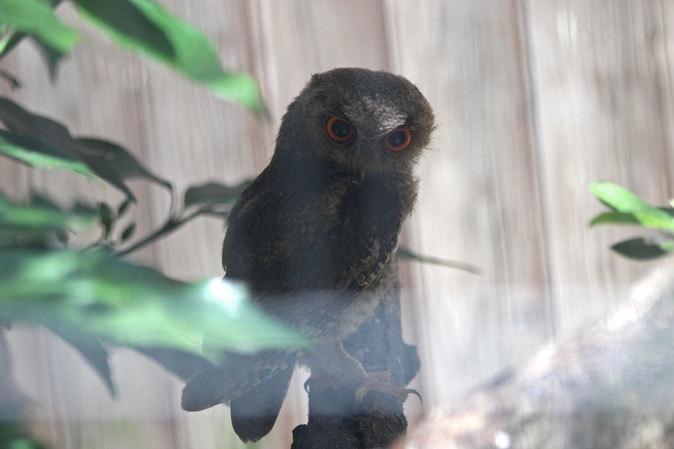 オオコノハズクの若鳥と和鳥舎の鳥たち(井の頭自然文化園 July 2019)_b0355317_21243964.jpg