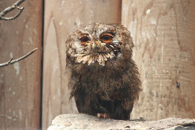 オオコノハズクの若鳥と和鳥舎の鳥たち(井の頭自然文化園 July 2019)_b0355317_21250148.jpg