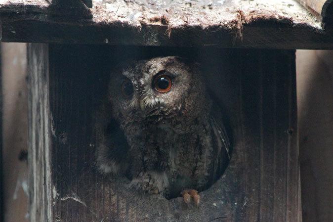 オオコノハズクの若鳥と和鳥舎の鳥たち(井の頭自然文化園 July 2019)_b0355317_21253128.jpg