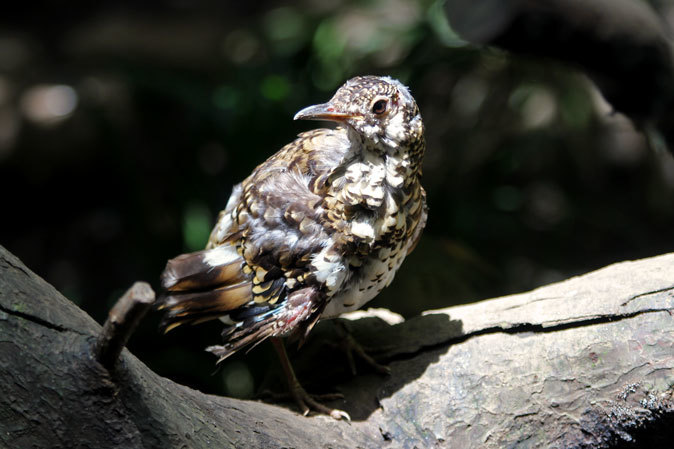 オオコノハズクの若鳥と和鳥舎の鳥たち(井の頭自然文化園 July 2019)_b0355317_21304626.jpg