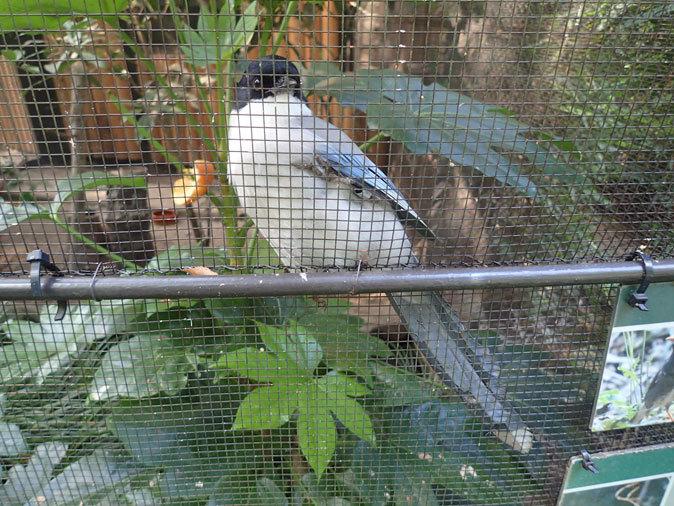 オオコノハズクの若鳥と和鳥舎の鳥たち(井の頭自然文化園 July 2019)_b0355317_21315471.jpg