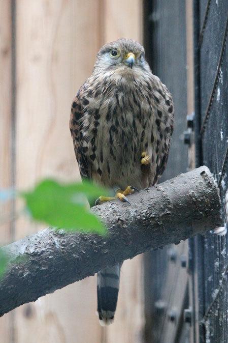 オオコノハズクの若鳥と和鳥舎の鳥たち(井の頭自然文化園 July 2019)_b0355317_21324554.jpg