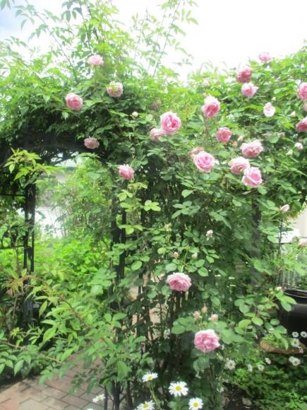 薔薇が少しづつ咲きだした~(^^♪_a0279743_10035581.jpg