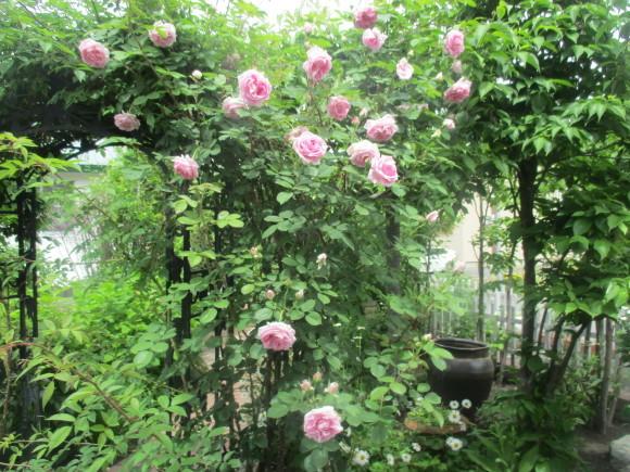 薔薇が少しづつ咲きだした~(^^♪_a0279743_10041458.jpg