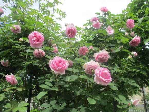 薔薇が少しづつ咲きだした~(^^♪_a0279743_10043374.jpg