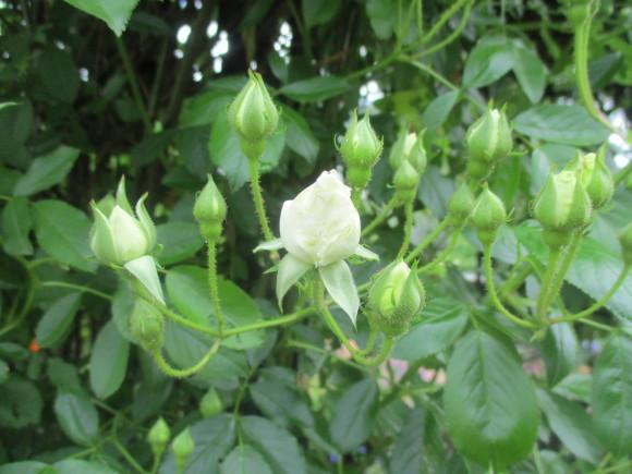 薔薇が少しづつ咲きだした~(^^♪_a0279743_10093373.jpg