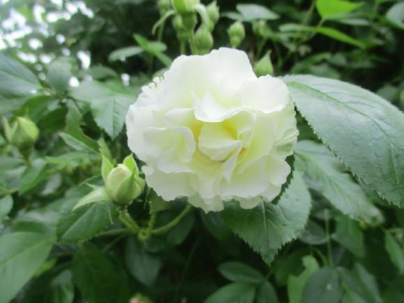 薔薇が少しづつ咲きだした~(^^♪_a0279743_10100036.jpg