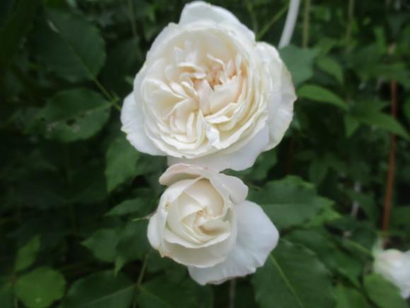 薔薇が少しづつ咲きだした~(^^♪_a0279743_10134073.jpg