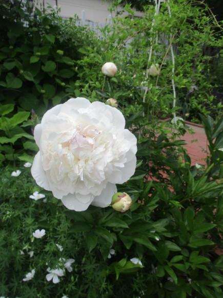 薔薇が少しづつ咲きだした~(^^♪_a0279743_10140155.jpg