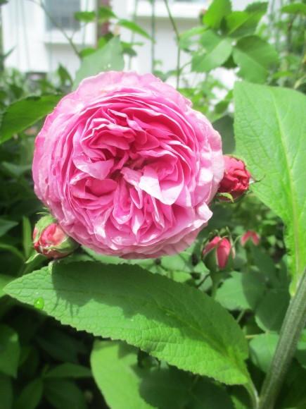 薔薇が少しづつ咲きだした~(^^♪_a0279743_10455303.jpg
