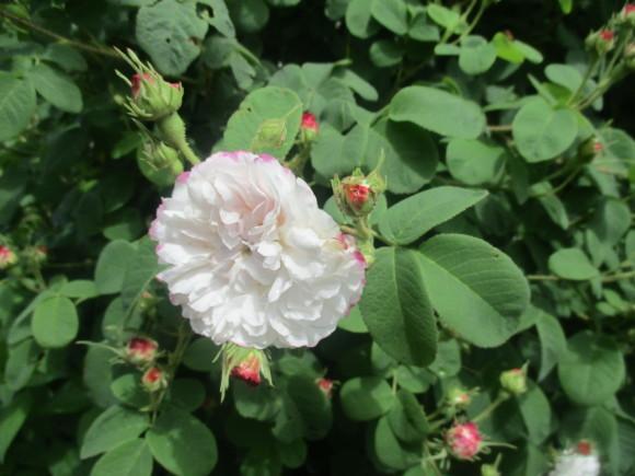 薔薇が少しづつ咲きだした~(^^♪_a0279743_11495241.jpg