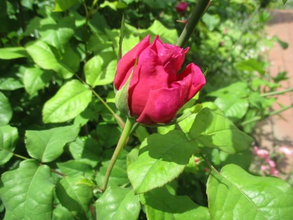 薔薇が少しづつ咲きだした~(^^♪_a0279743_11524029.jpg