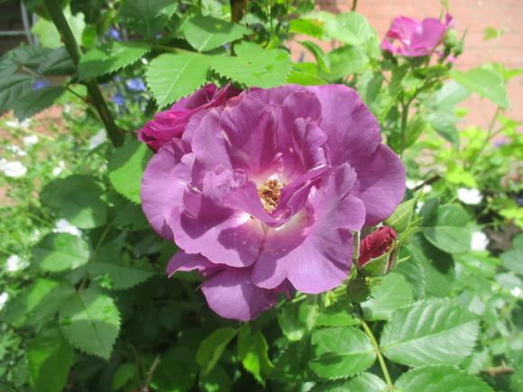 薔薇が少しづつ咲きだした~(^^♪_a0279743_11534183.jpg