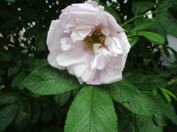 薔薇が少しづつ咲きだした~(^^♪_a0279743_11544552.jpg