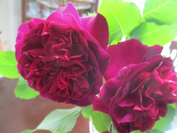 薔薇が少しづつ咲きだした~(^^♪_a0279743_12555717.jpg