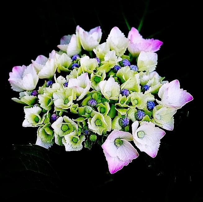 色づく紫陽花_b0314043_07554019.jpg