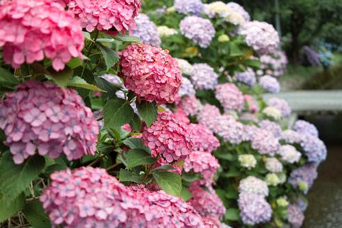 梅雨・・・紫陽花とカエルは、雨が似合う!_d0005250_17334971.jpg