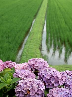 梅雨・・・紫陽花とカエルは、雨が似合う!_d0005250_17354096.jpg