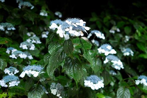 梅雨・・・紫陽花とカエルは、雨が似合う!_d0005250_1736525.jpg