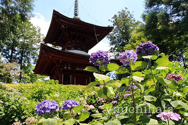 久米寺の紫陽花_b0186680_17442508.jpg