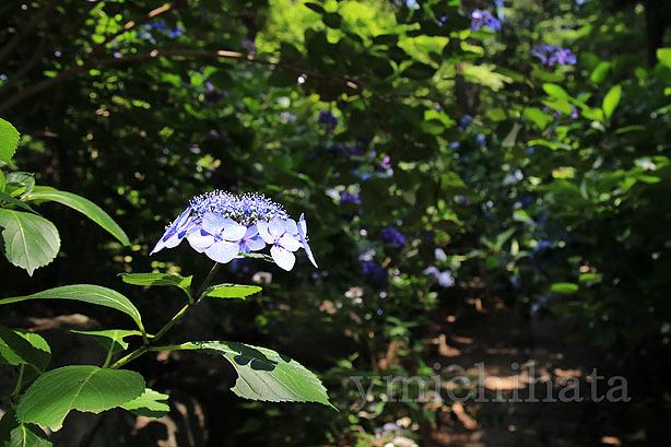 久米寺の紫陽花_b0186680_17442558.jpg