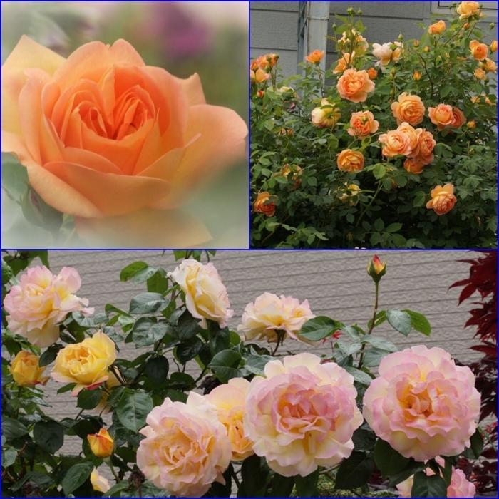 薔薇_d0162994_08373841.jpg