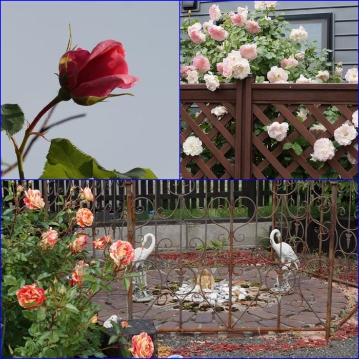 薔薇_d0162994_08375592.jpg