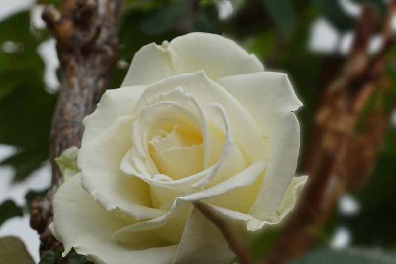 薔薇_d0162994_08453525.jpg