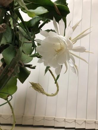 月下美人、最後の一輪が今晩咲きそうです。_a0187509_13512153.jpg