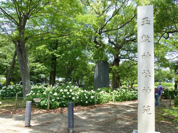 玉敷神社の紫陽花_f0296312_18330195.jpg