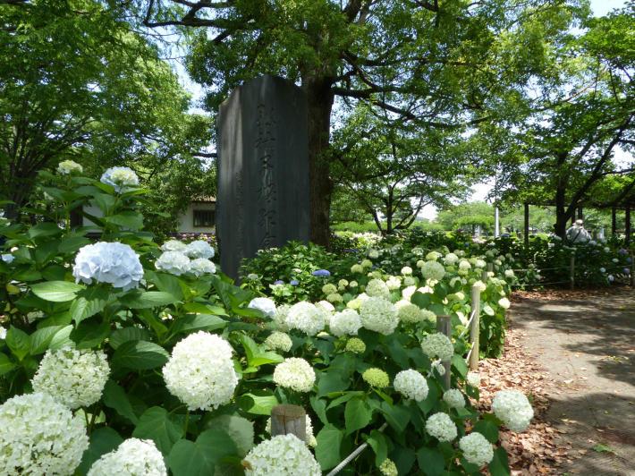 玉敷神社の紫陽花_f0296312_18330359.jpg