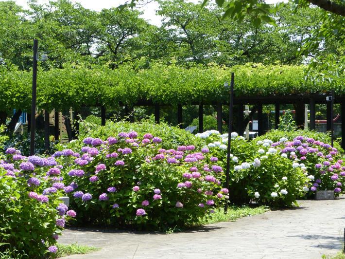 玉敷神社の紫陽花_f0296312_18363788.jpg