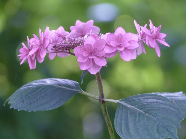 玉敷神社の紫陽花_f0296312_18381765.jpg