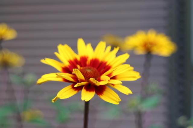 夏の花が咲いて来ました~♪_e0397815_00165037.jpg