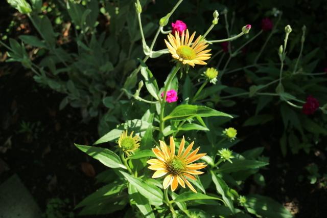 夏の花が咲いて来ました~♪_e0397815_00173966.jpg