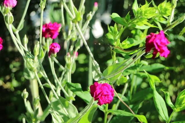 夏の花が咲いて来ました~♪_e0397815_00174713.jpg