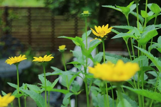 夏の花が咲いて来ました~♪_e0397815_00264665.jpg
