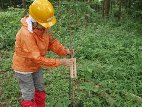 植樹したヤマザクラ、オオシマザクラに品種表示6・18_c0014967_09002891.jpg