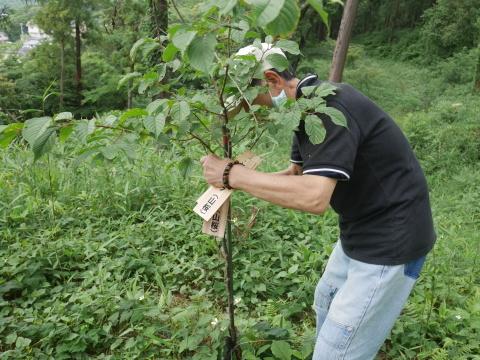 植樹したヤマザクラ、オオシマザクラに品種表示6・18_c0014967_09004573.jpg
