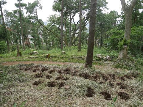 植樹したヤマザクラ、オオシマザクラに品種表示6・18_c0014967_09033434.jpg