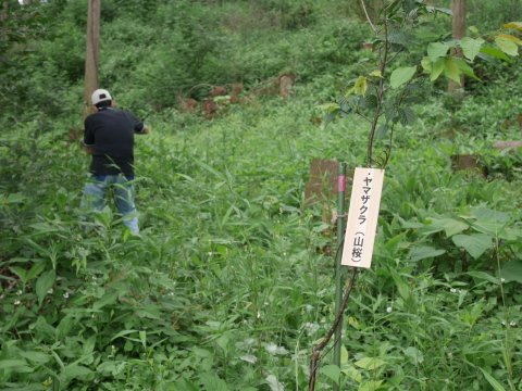 植樹したヤマザクラ、オオシマザクラに品種表示6・18_c0014967_09052953.jpg