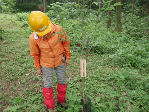 植樹したヤマザクラ、オオシマザクラに品種表示6・18_c0014967_09064995.jpg