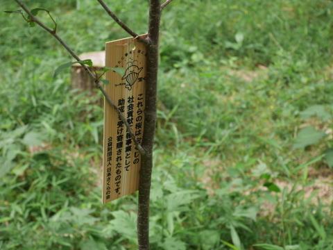 植樹したヤマザクラ、オオシマザクラに品種表示6・18_c0014967_09070461.jpg