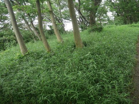 植樹したヤマザクラ、オオシマザクラに品種表示6・18_c0014967_09074004.jpg