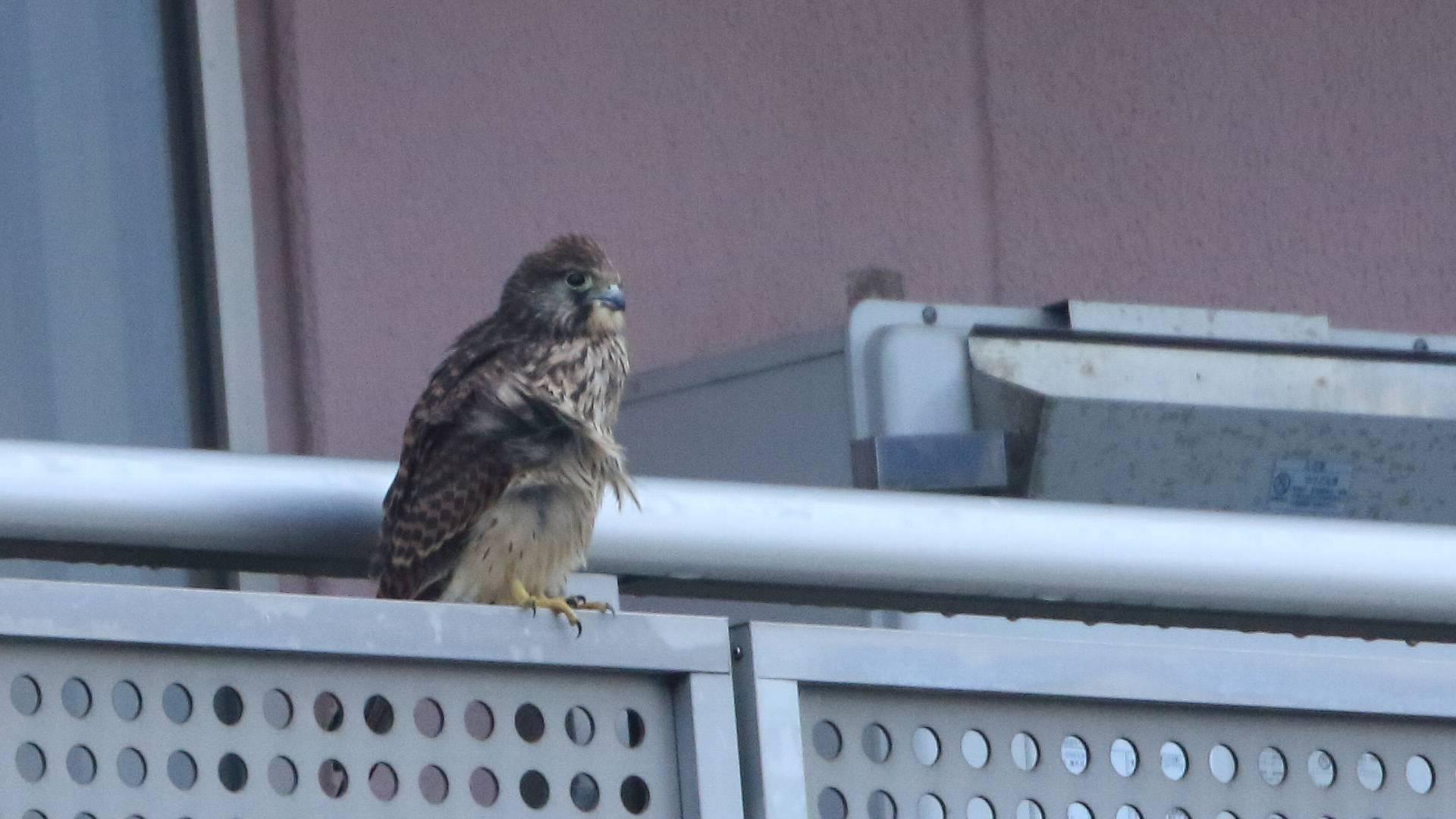 自宅マンション廊下からチョウゲンボウ幼鳥を撮影!_f0105570_21144282.jpg