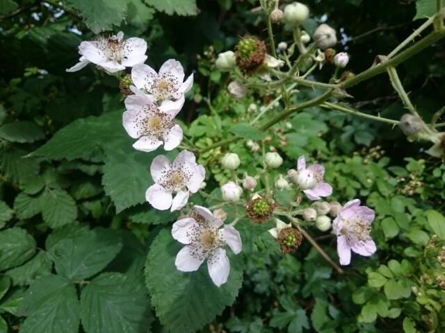 色々な再開! & ブラックベリーの花が咲き始め。。_c0211876_04374003.jpg