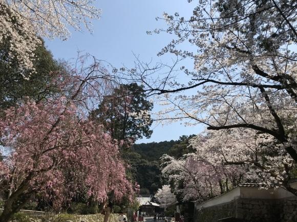 三井寺の桜と石碑 2020_f0010195_18145039.jpeg